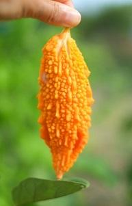 オレンジのゴーヤ食べれる?味は?そしてゴーヤの効能について!